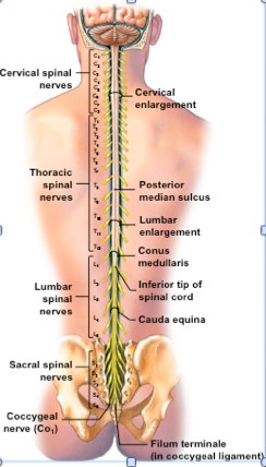 Image result for vertebrae with nerves